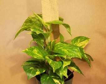 """6"""" Totem (Philodendron or Pothos)"""