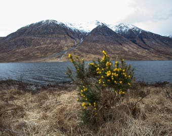 Loch'n Ben yellow bush