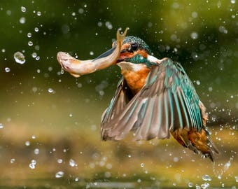 Wildlife Photographic signed mounted A4/A3 Prints of a Kingfisher