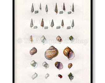 Shell Print Antique Reproduction. Plate XVI from British Shells by Sowerby pub. 1859. Wall Decor for, Hamptons, Shabby Chic, Beach House