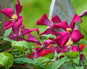 Clematis flower photograph print
