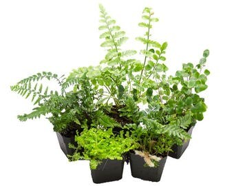 5 Assorted Terrarium Suitable Ferns