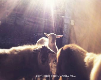 Light on the lamb
