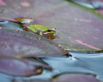 Frog Pond - Fine Art photography wall art - green frog, lily pond, australian nature
