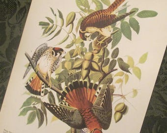 Vintage Bird Illustrations - Audubon Book Plate - Picture For Framing - Choice