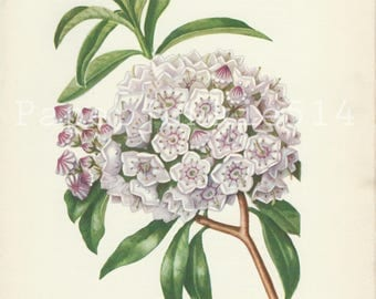 Vintage Book Plate - Botanical - Flowers - Wild Flowers / Mountain Laurel