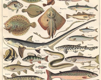 French Fish Chart Antique ~ Marine Biology Poster - Fish Species Poster - Ocean Science ~ Kitchen Decor - Restaurant Wall Art - Giclee Print
