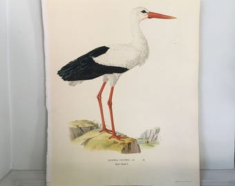 1924 STORK BIRD Von Wright swedish birds original antique bird print color lithograph - ciconia
