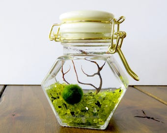 Closed Marimo Terrarium, White and Gold Small Glass Jar, Customizable