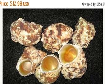 15% OFF 10 - TURBO, NAT. Goldmouth, Seashells, Saliors Valentine, Seashells, Craft, seashells for shell crafts, craft quality, free shipping