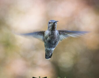 Hummingbird photography, bird photography, nature photography, wildlife photograph, bird in flight photo, nature wall decor, bird wall art