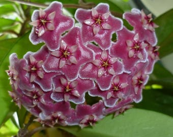 Hoya Pubicalyx  Pink Silver #2 - Rooted Plant