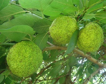 Fresh Hedge Apples Osage Oranges 7-10 Fruits in Filled Medium Flat Rate Box Organic Michigan