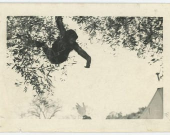 Vintage Snapshot Photo: Chimpanzee, Outstretched Hand (75582)