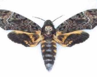 One REAL Silence of the Lambs Death's Head Moth Acherontia Lachesis