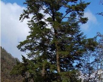 100 Chinese Hemlock Tree Seeds, Tsuga Chinensis