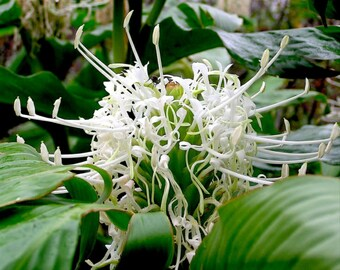 2 White Ginger hedychium Thyrsiforme Tropical plants Rhizome / Bulbs
