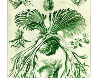 Ernst Haeckel's Vintage Artwork Filicinae