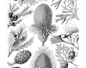 Ernst Haeckel's Vintage Artwork Coniferae