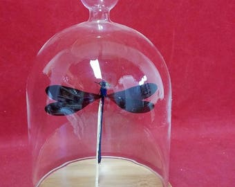 Taxidermy Black Winged damselfly Glass Dome -entomology-insect-dragonfly-fly-aquatic-pond