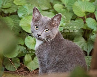 Cat photograph, cat picture, cat decor, cat wall decor, cat poster, cat photography print, picture of a cat, kitten photo, cat lover gift