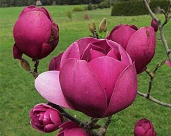Magnolia black tulip flower seeds,521,flower seeds,  flower ,spring flower,gardening