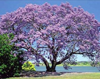 Jacaranda Acutifolia Tree * 15 Seeds