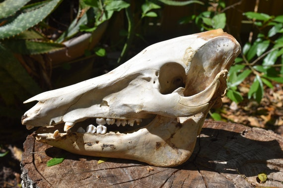 Boar Skull, Wild Boar skull whole, animal skull