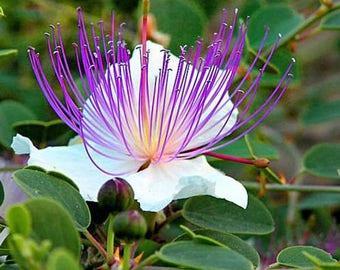 Caper Bush Seeds (Capparis Spinosa) 25+Seeds