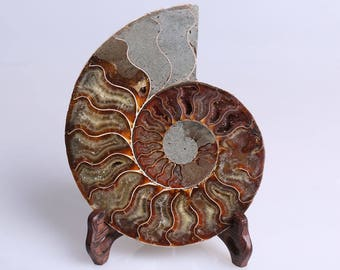 Split Ammonite Fossil Specimen Shell Healing Madagascar,Natural Home Decor+ Free Wenge Stand J507L