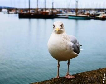 Brixham Seagull - A4 Photographic Print
