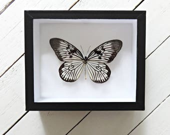 Real framed butterfly: Idea blanchardi // shadowbox // mounted