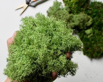 Preserved Reindeer Moss // Cladonia Rangiferina Lichen
