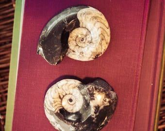Ammonite Fossil