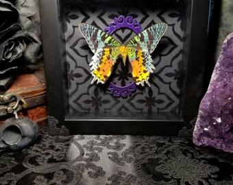 Sunset Moth Shadow Box Taxidermy Gothic Decor