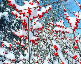 Winter Berries Covered in Snow Canvas Print