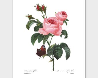 Botanical Art, French Cottage Decor (Pink Rose Print, Butterfly Botanical) -- Pierre Redoute