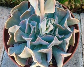 Succulent Plant Echeveria