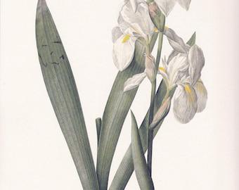 white Iris florentina flower botanical print vintage illustration Pierre-Joseph Redouté gardening gift cottage decor  8.5 x 12 in