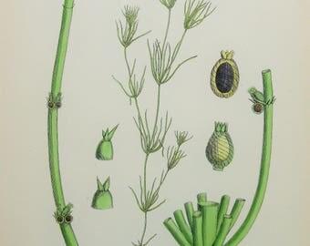Antique Algae Print. James Sowerby Antique Botanical Print, 1800s Hand Coloured Engraving