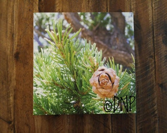 Nature Photography - Canvas Art - Nature Print - Landscape Photography - Budding Pine Cone on Pine Tree - Nature Print - 12x12 Inch Canvas