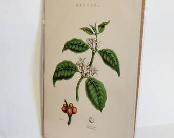 Antique Botanical Print of Coffee Plant -  Vintage Bookplate, Ideal for Framing - Gift for Coffee Lover