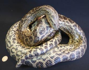 TAXIDERMY Yellow Anaconda (log no:102) Large Reptile. Captive Bred Snake.