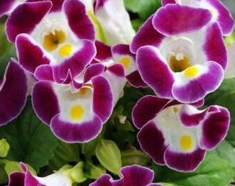 Bulk Torenia Seeds 500 Pelleted Flower Seeds Burgundy