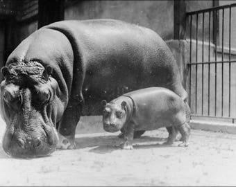 Poster, Many Sizes Available; Hippopotamus At The National Zoo, Washington, D.C. 3C20511U Original