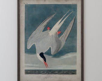 Arctic Tern: John James Audubon, Birds of America, Circa 1820's - Vintage Art Print
