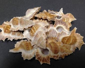 Apolon Perca (Maple Leaf) Seashells (Large)  (2 Shells)