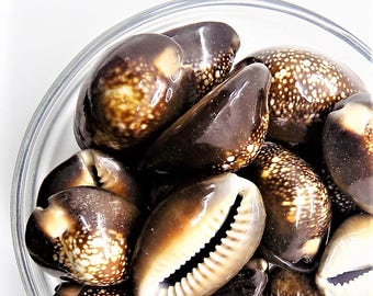 Whole Cowrie shell; pendant drilled, Snakehead, Cowrie Shell beads, 30-35x20-24x13-15mm, 3pcs/3.80.