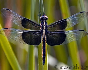 Two Toned Dragonfly