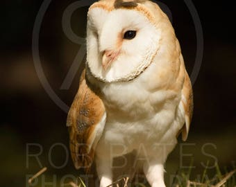 Wildlife Photography Print. Barn owl with butterfly